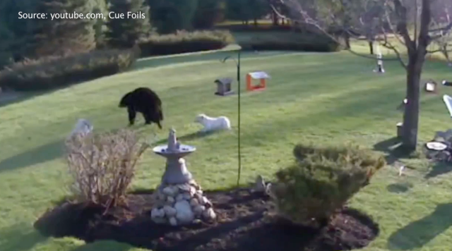 A Black Bear Is Scared Away by Two Bulldogs