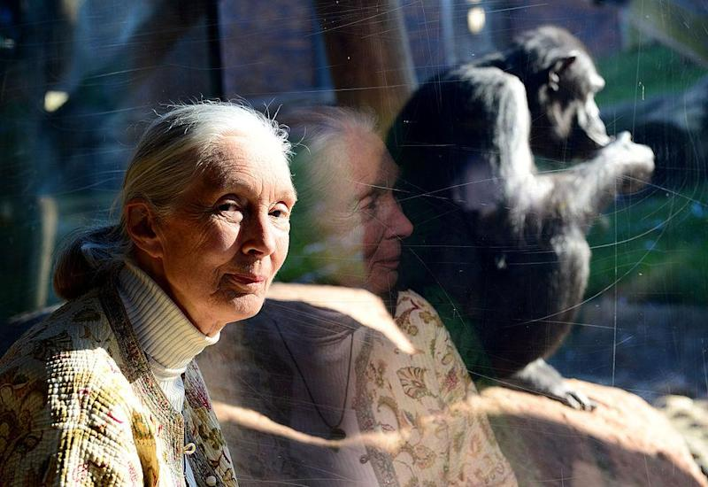 Jane Goodall Says Zoo Had No Choice But to Kill Harambe the Gorilla