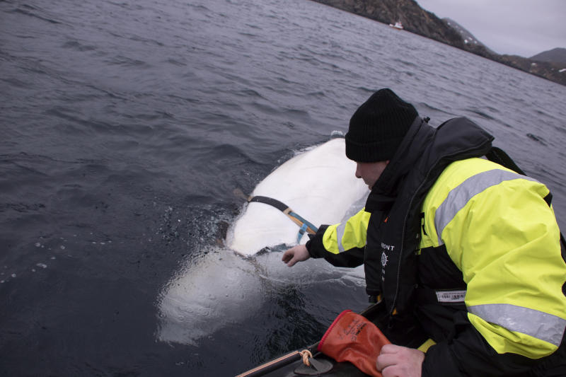 "Joergen Ree Wiig tries to reach the harness attached to a beluga whale before the Norwegian fishermen were able to removed the tight harness, off the northern Norwegian coast Friday, April 26, 2019. The harness strap which features a mount for an action camera, says ""Equipment St. Petersburg"" which has prompted speculation that the animal may have escaped from a Russian military facility. (Joergen Ree Wiig/Norwegian Direcorate of Fisheries Sea Surveillance Unit via AP)"