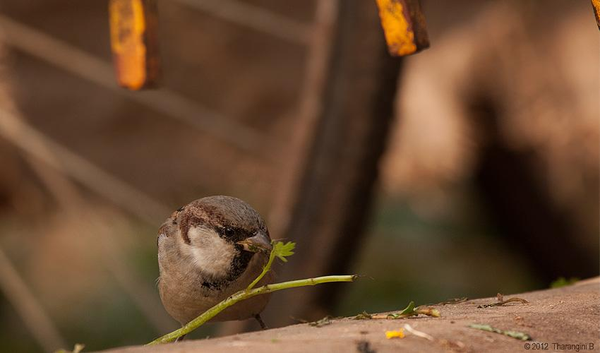 Food isn't something to fuss about, as sparrows are known to eat over 800 different types of food.