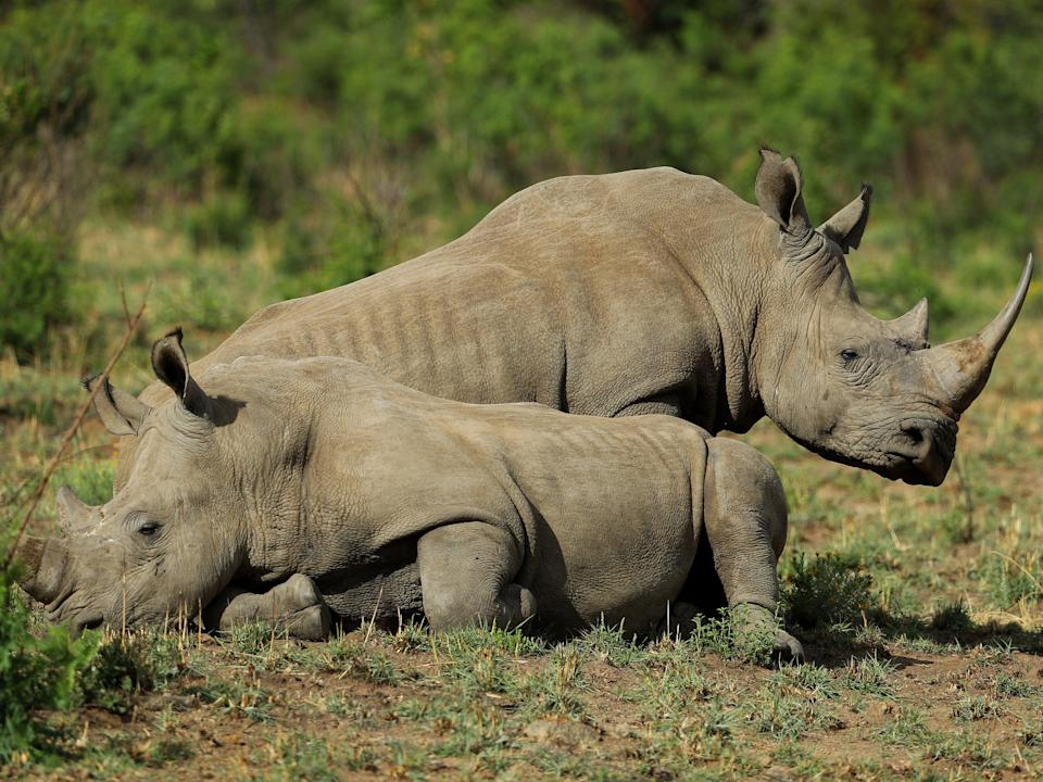 White rhino at Pilanesberg National Park in South Africa (Getty Images)