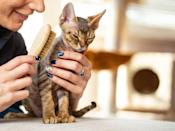 "<p>The Devon Rex is similar to its cousin the Cornish Rex, and has similar features such as high cheekbones and oversized ears. But what sets this breed apart is its <a href=""https://www.hillspet.com/cat-care/cat-breeds/devon-rex"" rel=""nofollow noopener"" target=""_blank"" data-ylk=""slk:desire to be with people"" class=""link rapid-noclick-resp"">desire to be with people</a>. This is definitely the cat to get if you want to spend all your free time snuggled up.</p>"