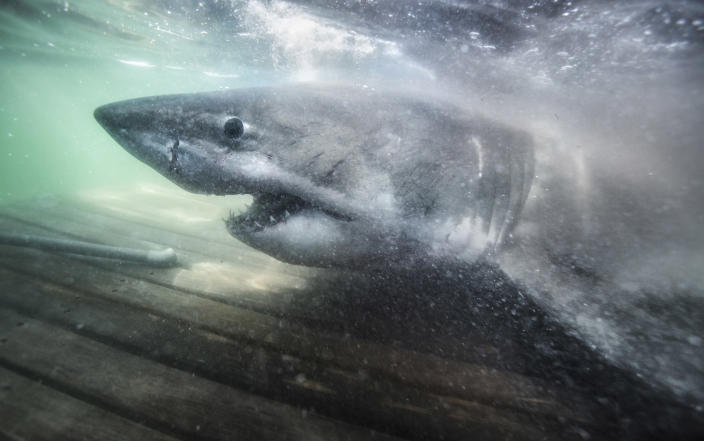 Nukumi is the largest great white shark the U.S. research team Ocearch has tagged in its northwest Atlantic white shark study to date. (Chris Ross / Ocearch)