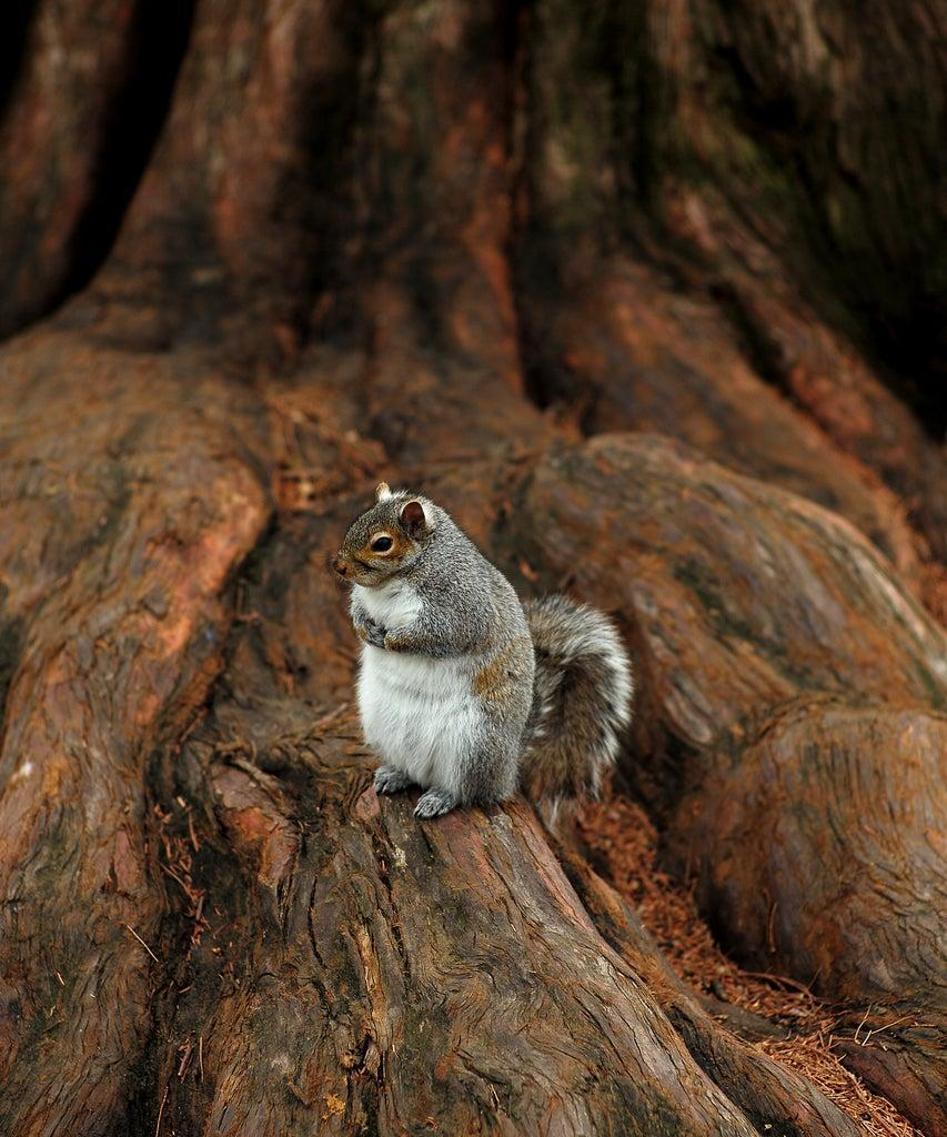 BOSTON – DECEMBER 9: A fat squirrel at the Boston Public Garden has a rest, on a Fall afternoon in Boston on Dec. 9, 2020. (Photo by Jonathan Wiggs/The Boston Globe via Getty Images)