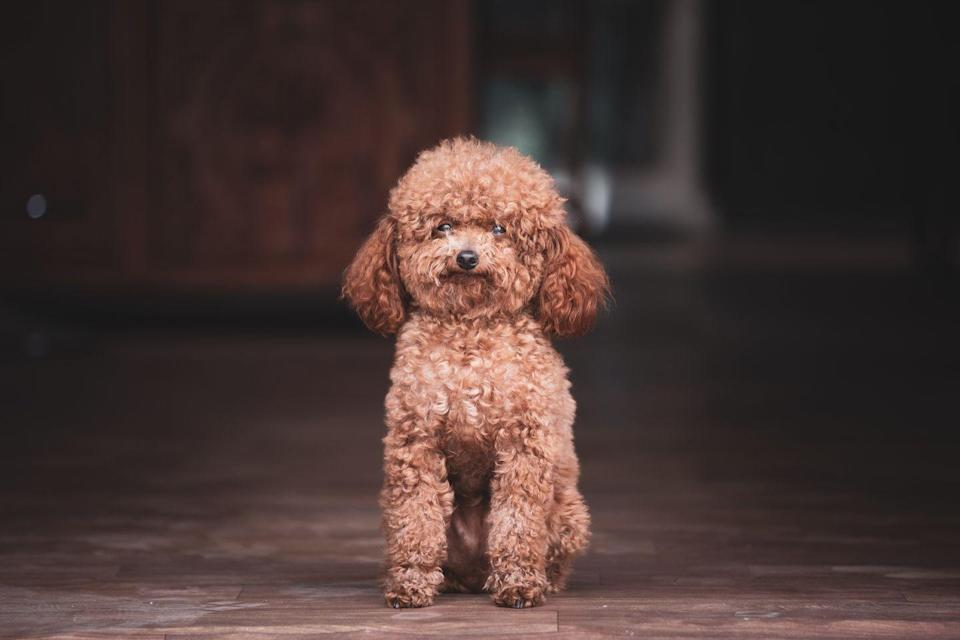 "<p>If you want a dog that's going to be no-nonsense, a poodle might be a good choice. ""Poodles are the teacher's pets of the dog world,"" Ellis says. ""They're highly intelligent and eager to please."" <a href=""https://www.akc.org/expert-advice/lifestyle/small-dogs-that-dont-shed/"" rel=""nofollow noopener"" target=""_blank"" data-ylk=""slk:They also don't shed"" class=""link rapid-noclick-resp"">They also don't shed</a>, which makes them great for people with allergies.</p>"