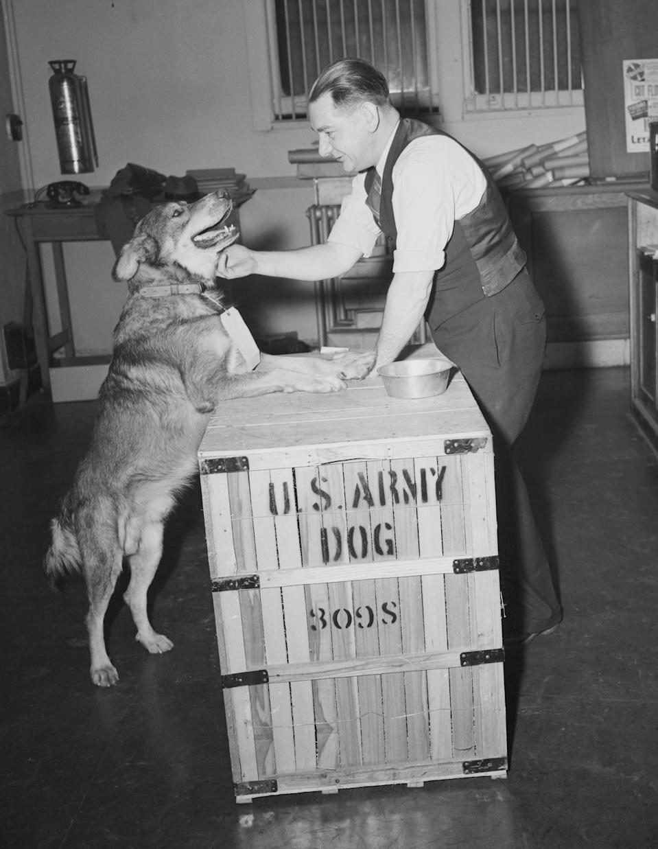 (Original Caption) Only Animal to Hold Silver Star. New York City: Chips, the mongrel dog who received a Silver Star for heroism in the invasion of Sicily, gets a friendly pat from William Wilson, Railway Express Co. employee, as he arrived in New York City this morning on his way home to Pleasantville, N.Y. Chips is the only animal to hold the award because just after he received it, the War Department ordered that only human beings would receive it. He will resume civilian life as the pet of Edward J. Wren and family, 26 Orchard St., Pleasantville.