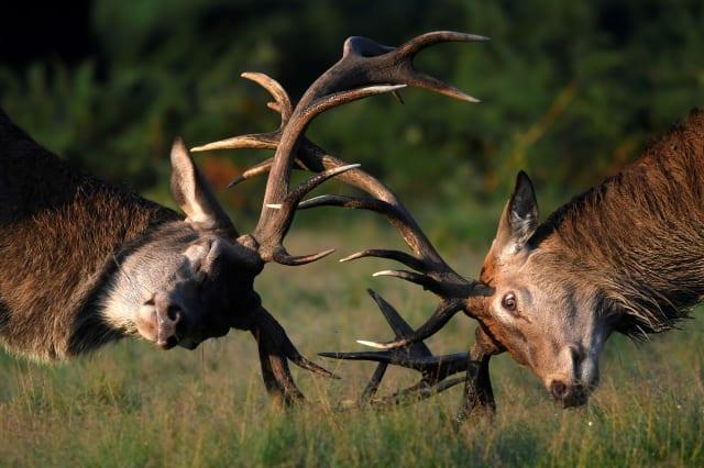 Richmond Park deer attack leaves woman in hospital