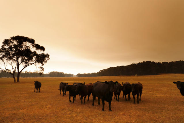 Cattle are seen under smoke filled skies in eastern Gippsland on Jan. 02, 2020, Australia. (Photo by Darrian Traynor/Getty Images)