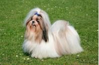 """<p>Vet Street says these silky pups <a href=""""http://www.vetstreet.com/dogs/shih-tzu"""" rel=""""nofollow noopener"""" target=""""_blank"""" data-ylk=""""slk:weigh nine to 16 pounds"""" class=""""link rapid-noclick-resp"""">weigh nine to 16 pounds</a> and are eight to 11 inches tall. And they may be small, but they are mighty. In fact, their name is <a href=""""http://www.animalplanet.com/pets/5-common-shih-tzu-personality-traits/"""" rel=""""nofollow noopener"""" target=""""_blank"""" data-ylk=""""slk:Chinese for &quot;lion,&quot;"""" class=""""link rapid-noclick-resp"""">Chinese for """"lion,""""</a> according to Animal Planet.</p>"""