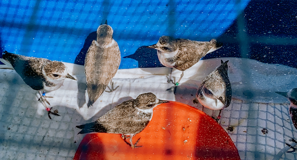 The seven plovers have been washed and banded by their carers. Source: OWCN, UC Davis