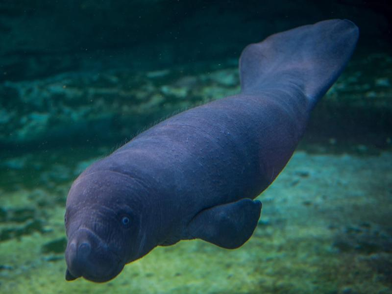 Manatees are marine mammals and often referred to as sea cows: Getty Images
