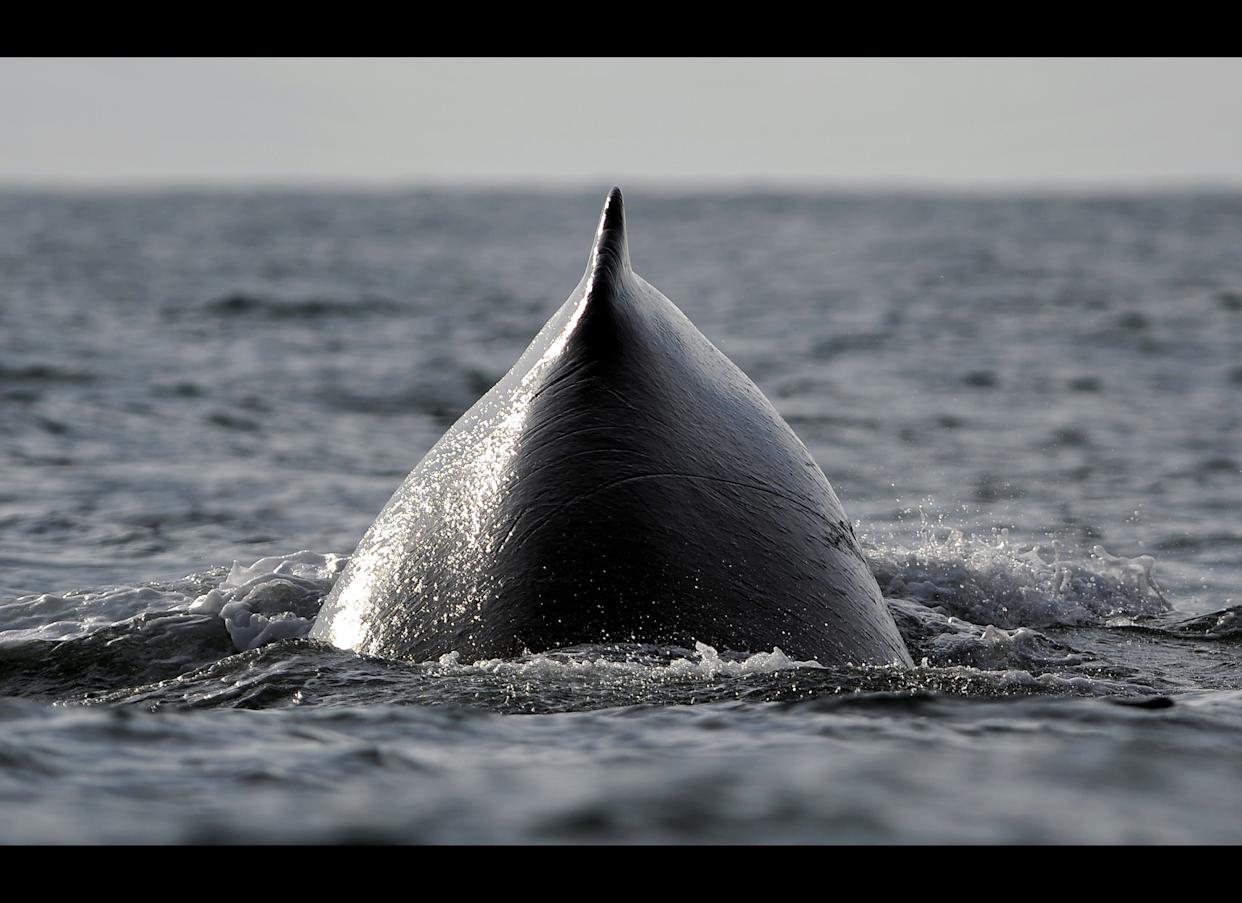 A humpback whale emerges from the surface of the Pacific Ocean at the Uramba Bahia Malaga natural park in Colombia, on July 22, 2011. (LUIS ROBAYO/AFP/Getty Images)