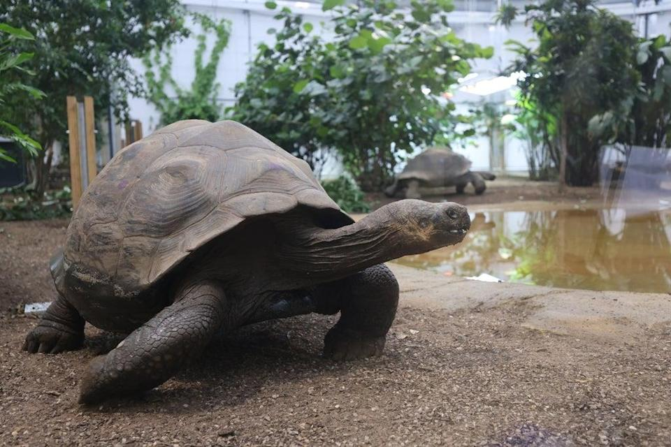 The giant tortoises have been enjoying exploring their new home (James Manning/PA)