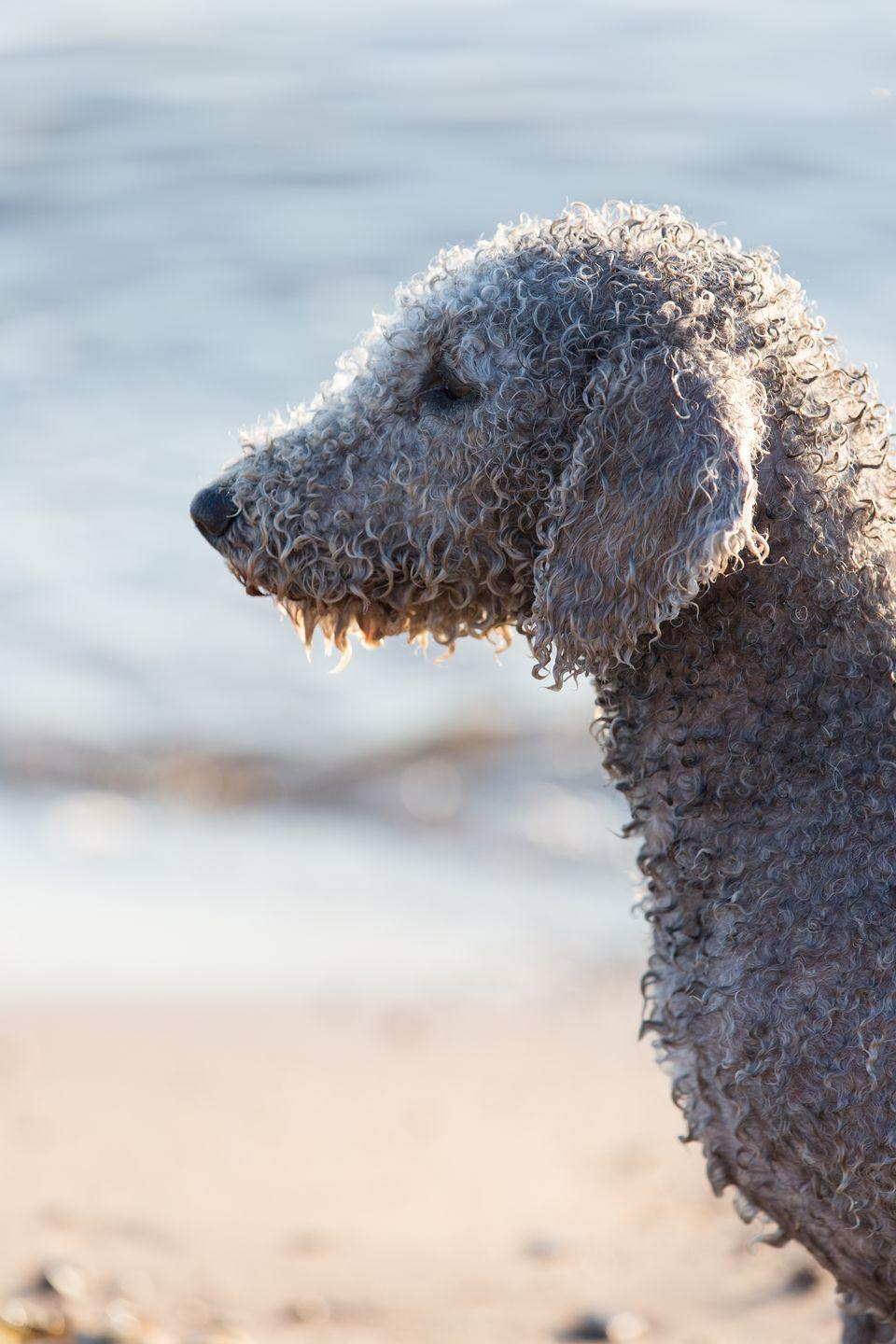 """<p>Bedlington terriers grow distinctive poofs of fur at the top of their heads, giving the sweet-looking breed a lamb-like look. These gentle, cuddly terriers make great watchdogs and downtime partners. Professionals spend a lot of time styling the curly, wooly coat for <a href=""""https://www.goodhousekeeping.com/life/pets/g4183/westminster-dog-show-breeds/"""" rel=""""nofollow noopener"""" target=""""_blank"""" data-ylk=""""slk:dog shows"""" class=""""link rapid-noclick-resp"""">dog shows</a> to get them that picture perfect. If you just want a snuggly pet, you can opt for a lower-maintenance short clip instead. </p>"""