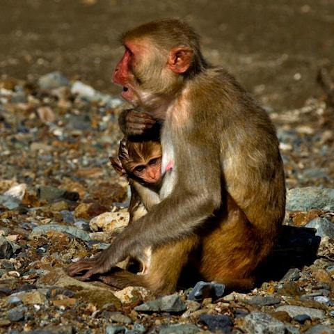 A female monkey holds her baby on Cayo Santiago - Credit: Ramon Espinosa AP