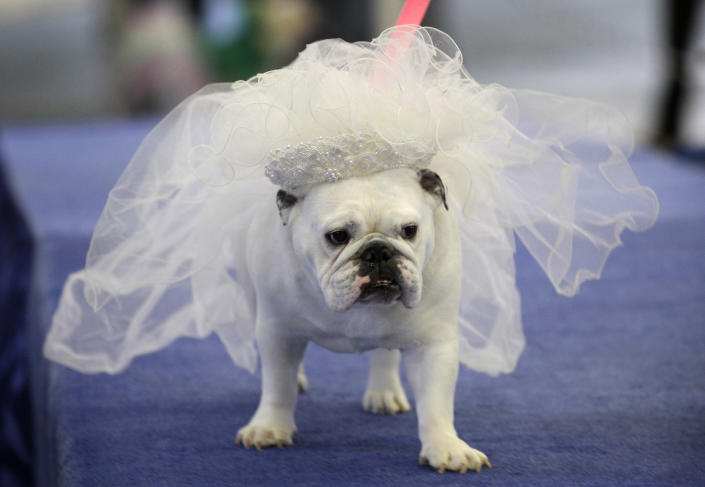 Maggie, owned by Bobby Jo Andreason, of Des Moines, Iowa, walks across the stage during the 33rd annual Drake Relays Beautiful Bulldog Contest Monday, April 23, 2012, in Des Moines, Iowa. The pageant kicks off the Drake Relays festivities at Drake University where a bulldog is the mascot. (AP Photo/Charlie Neibergall)