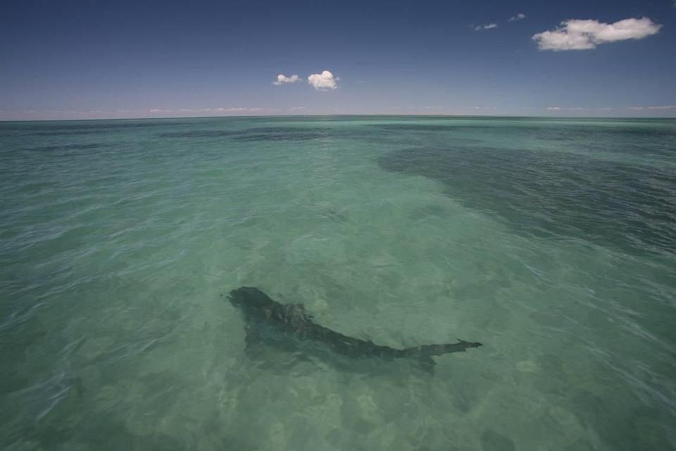 A tiger shark in the waters of Shark Bay in Australia where researchers, including a team from Florida International University, studied sharks' role in helping the ocean heal.
