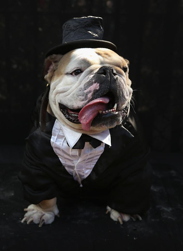 Meatball, a bulldog, poses in a tuxedo at the Tompkins Square Halloween Dog Parade. (Photo by John Moore/Getty Images)