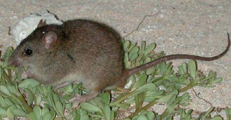 "<p>These little guys were officially declared extinct by the International Union for Conservation of Nature (IUCN) in 2015. Native to Bramble Cay, a small island near the northern side of the Great Barrier Reef, it's reported that the rodents haven't been spotted since way back in 2009. ""Significantly, this probably represents the first recorded mammalian extinction due to anthropogenic climate change,"" <a href=""https://www.bbc.com/news/world-australia-47300992"" rel=""nofollow noopener"" target=""_blank"" data-ylk=""slk:said"" class=""link rapid-noclick-resp"">said</a> the Queensland state government. </p><p><strong>Cause of Extinction:</strong> Man-made climate change which led to loss of habitat and food. </p>"