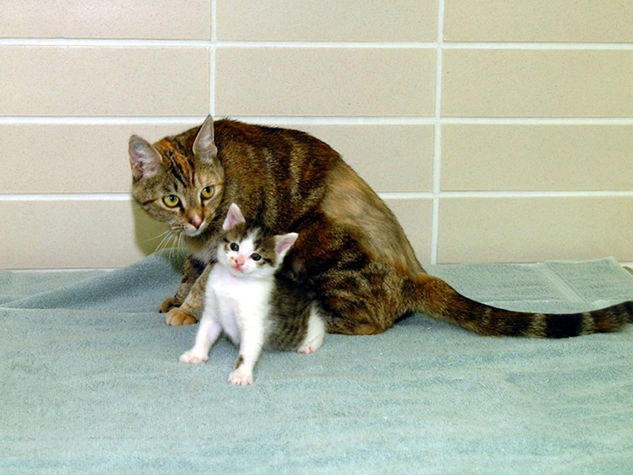 "The world's first-ever cloned cat, called ""CC,"" is seen at seven weeks old with Allie, her surrogate mother, in this December 22, 2001 file photo. The kitten is the first successful product of a program aimed at letting people clone their beloved pets at Texas A&M University in College Station. [""CC"" joins a growing list of animals that have been cloned from adult cells, starting with Dolly the sheep and now including pigs, goats, cattle, mice and an oxlike creature called a gaur.]"