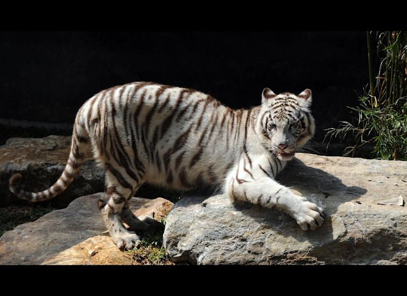 A White Tiger (Panthera Tigris) stands on a rock in the Zoological Gardens in Colombo on March 2, 2010. A pair of tigers were presented by The Chinese government to the Sri Lankan zoo as a mark of friendship. February 14, 2010 marked the start of 'The Year of the Tiger' according to the Lunar Calendar. AFP PHOTO/Ishara S.KODIKARA (Photo credit should read Ishara S.KODIKARA/AFP/Getty Images)