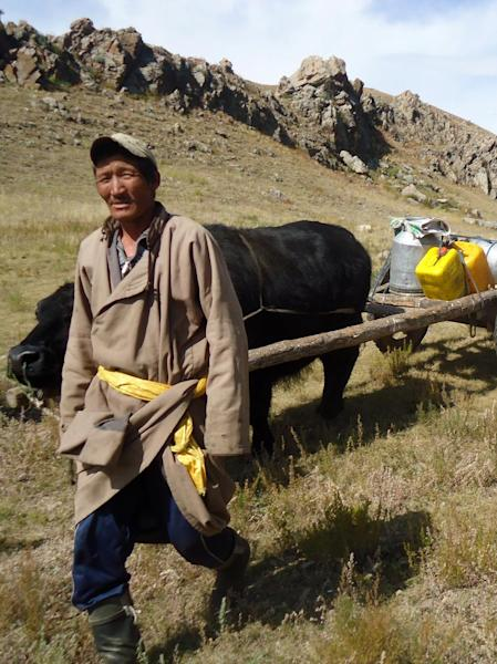 In this Sept. 11, 2011 photo, a nomad living on the shore of Terkhiin Tsagaan Nuur, also known as White Lake, in central Mongolia leads a yak cart stocked with a supply of fresh water collected from a nearby stream. The pastoral lifestyle is still an integral part of Mongolian identity _ as much as 30 percent of the nation's 3.1 million people are considered nomadic _ and its simplicity can be a revelation for the Western visitor. (AP Photo/Louise Chu)