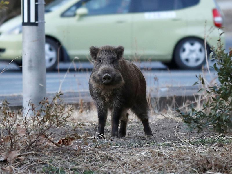A wild boar in an evacuation zone near the Fukushima nuclear power plant: Reuters