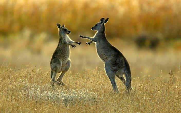 Kangaroos sparring in a national park near Canberra - Reuters