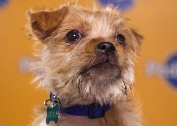 Blitz, an 11-week-old terrier mix, rode a plane, subway and taxi in less than 24 hours to take part in the Puppy Bowl. (Photo by Keith Barraclough/DCL)
