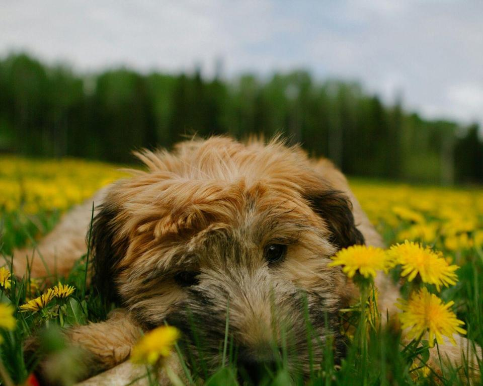 """<p>Like most terriers, Soft Coated Wheatens are a little stubborn, so some of them may take some extra training, but their friendliness and loyalty makes them very well worth it. According to the AKC, these terriers are <a href=""""https://www.akc.org/dog-breeds/soft-coated-wheaten-terrier/"""" rel=""""nofollow noopener"""" target=""""_blank"""" data-ylk=""""slk:medium-sized"""" class=""""link rapid-noclick-resp"""">medium-sized</a>, hardy, well-balanced, and sporty, distinguished by their warm, wavy wheaten-colored coat and steady disposition. They don't shed very much, but their coat needs diligent care to avoid matting. <br></p>"""