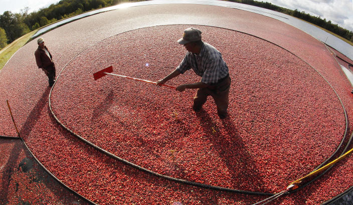 Miguel Sandel of Middleborough, Mass., rakes cranberries into a loading tube during an afternoon harvest at the Hannula cranberry bogs in Carver, Mass., Tuesday, Oct. 4, 2011. Massachusetts cranberry farmers are expecting a robust crop this fall. Researchers said that growing conditions this summer were optimal, with enough hot days interspersed with the right amount of rain. (AP Photo/Charles Krupa)