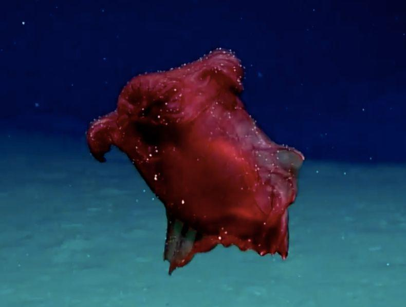 "Enypniastes eximia, the ""headless chicken monster,"" feeds on the sea floor and has webbed body parts that allow it to swim. (Photo: Australia Dept. of the Enviroment and Energy)"
