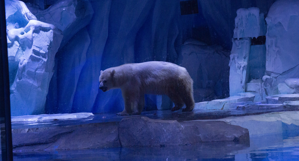 Pizza the polar bear stands inside a small artificial enclosure.