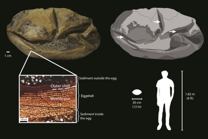 Illustration of a fossil egg of a marine reptile found in Antarctica