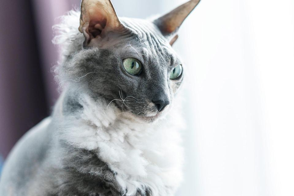 "<p>Bred between a Peterbald and Siamese, the <a href=""https://tica.org/breeds/browse-all-breeds?view=article&id=839:donskoy-breed&catid=79"" rel=""nofollow noopener"" target=""_blank"" data-ylk=""slk:Donosky"" class=""link rapid-noclick-resp"">Donosky</a> cats are sharp, witty, and curious cats. Also known as Don Sphynx or the Russian Hairless, this medium-sized, muscular cat is oftentimes born with one of four coat types but carries a dominant hair loss gene that causes their birth coat to fall out.</p>"