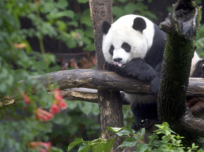 FILE - In this Tuesday, Aug. 21, 2007 file photo, Mei Xiang sleeps in a tree in the panda enclosure at the National Zoo in Washington.  The National Zoo says that its female giant panda Mei Xiang is not pregnant and officials have ended their round-the-clock pregnancy watch. (AP Photo/Ron Edmonds, file)