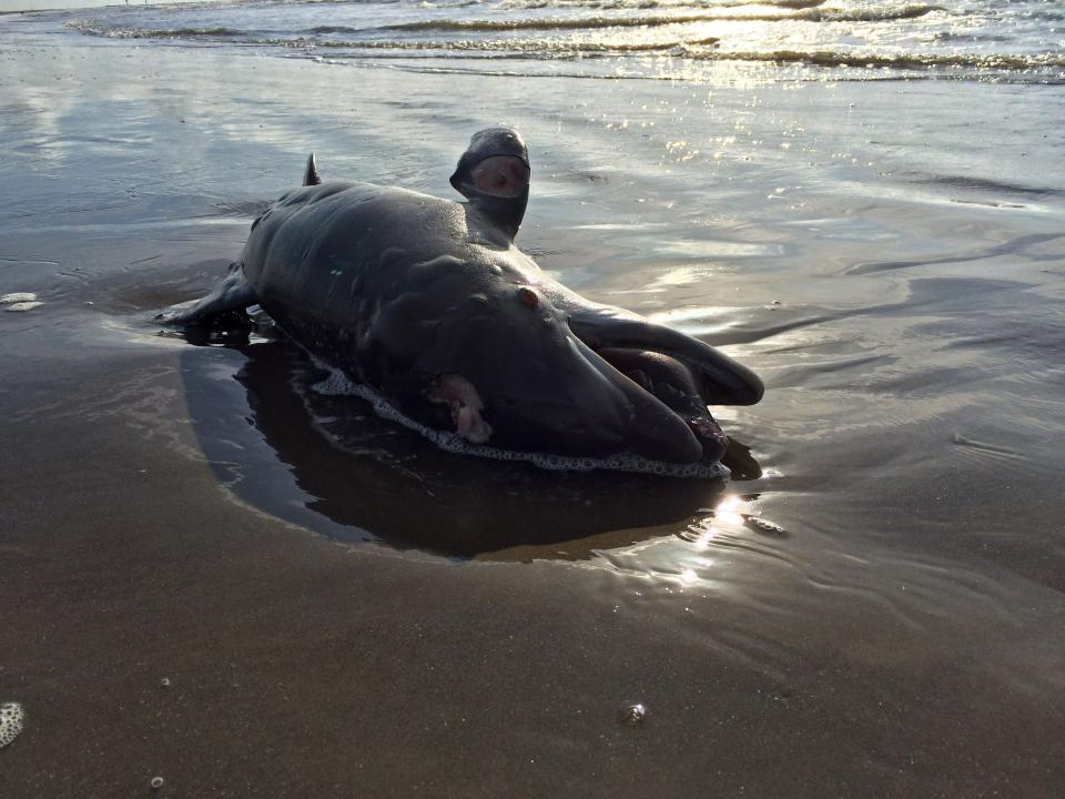 FILE - In this May 10, 2015 file photo, a dead dolphin washes ashore in the Gulf of Mexico on Grand Isle, La. Ten years after the nation's biggest offshore oil spill fouled its waters, the Gulf of Mexico sparkles in the sunlight and its fish are safe to eat. But scientists who have spent $500 million dollars from BP researching the impact of the Deepwater Horizon disaster have found much to be concerned about. (AP Photo/Cain Burdeau, File)