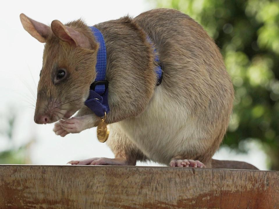 <p>Magawa, pictured with his PDSA gold medal, became Apopo's most successful detection rat</p> (AP)