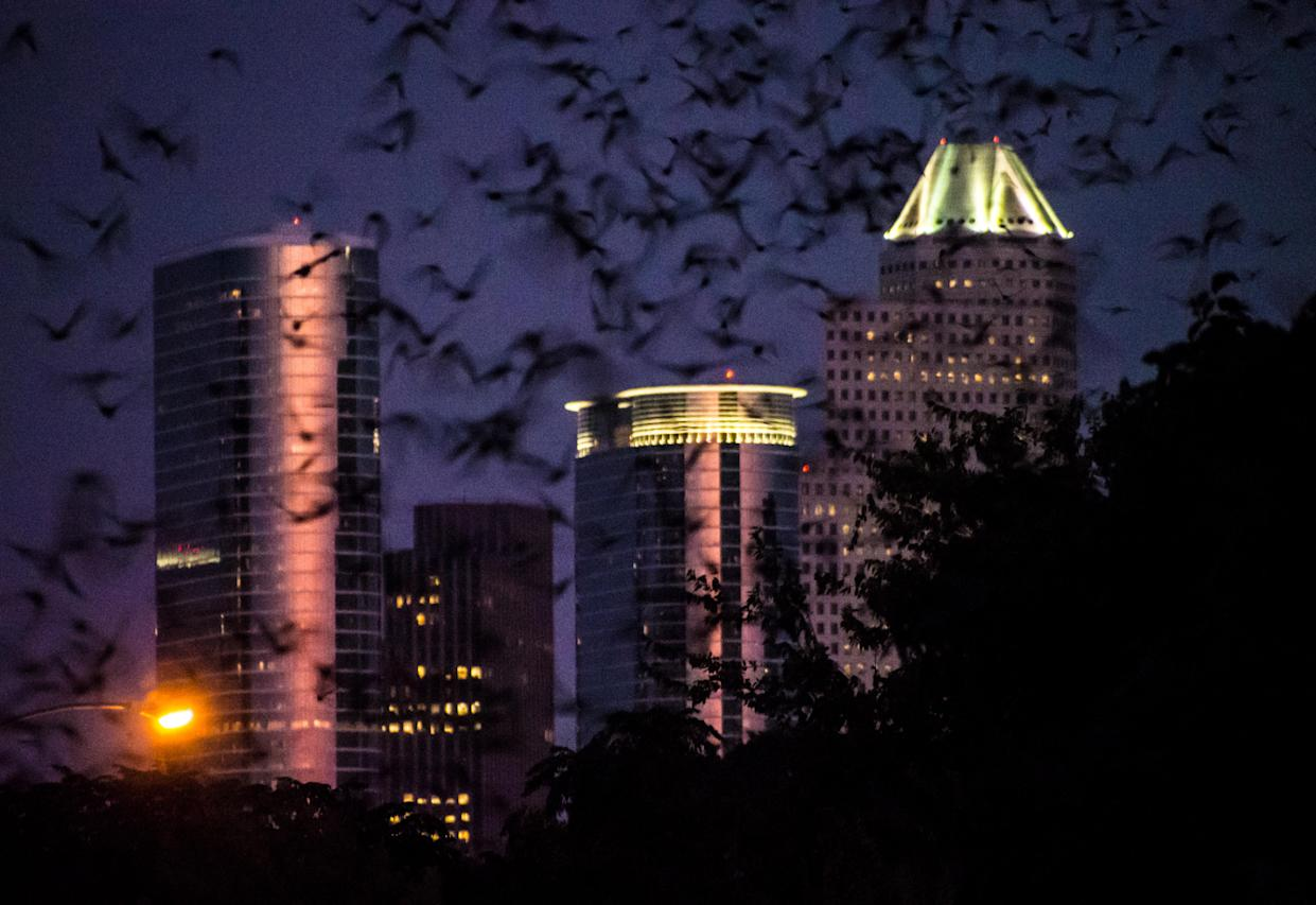 A colony of Mexican free-tailed bats emerges at dusk from under the Waugh Bridge in downtown Houston in 2013. (Photo: Norm Lanier via Flickr)