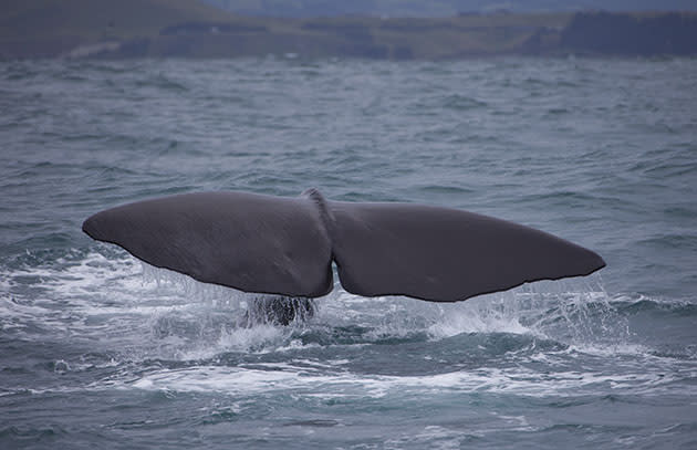 Sperm whale off the coast of New Zealand (EyesWideOpen/Getty Images)