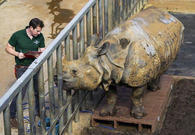 Beluki, a greater one-horned rhinoceros, with keeper Phil Curzon