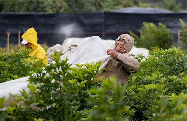 <p>Mercedes Pedro pulls coverings over arboricola plants at Quinntessence Nursery in Loxahatchee, West Palm Beach, Fla., on Jan. 3, 2018. The workers are covering many of the sensitive plants on their 15 acres to protect them from cold and wind. (Photo: Allen Eyestone/The Palm Beach Post via ZUMA Wire) </p>