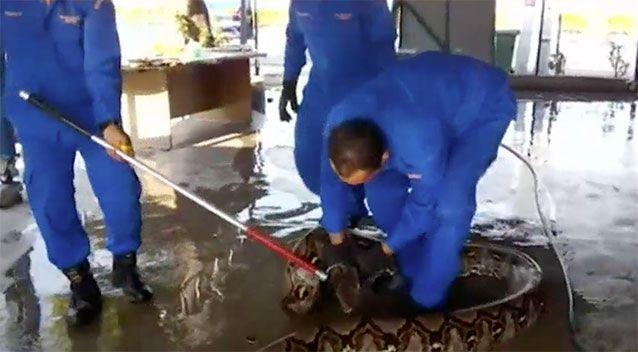 The men wrangled the snake that later 'died on her own'. Source: Malaysian Civil Defence Force/Herme Herisyam