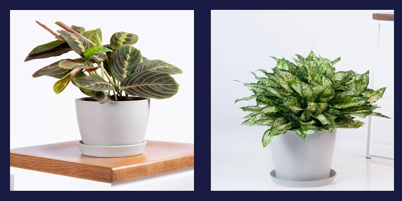 """<p>If you've struggled with <a href=""""https://www.elledecor.com/design-decorate/room-ideas/g10045973/decorative-plants/"""" target=""""_blank"""">bringing greenery into your home</a> due to <a href=""""https://www.elledecor.com/design-decorate/room-ideas/g3464/how-to-brighten-a-dark-room/"""" target=""""_blank"""">limited sunlight</a>, there's still hope. Believe it or not, certain plant varieties don't require a great deal of natural light to thrive. Enliven your space just in time for spring with any one of these low-light plant recommendations from <a href=""""https://bloomscape.com/"""" target=""""_blank"""">Bloomscape</a>'s Joyce Mast. </p>"""