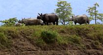 NEW DELHI, July 16, 2020 -- One horned Rhinos in Kaziranga wildlife sanctuary gather in a higher land to get rid of flood water in Nagaon district of Assam, India, July 16, 2020. The incessant rains in India's northeastern state of Assam has worsened the flood situation there as water has inundated new areas, officials said Tuesday. Wildlife officials said 95 percent areas of the Kaziranga national park were inundated. The park, a world heritage site, is the largest home to the one-horned rhinoceros in India. Reports said at least 51 wild animals were confirmed dead and 100 have been rescued. Many wild animals including tigers and rhinos strayed into nearby villages because of the rising water. (Photo by Xinhua/Xinhua via Getty) (Xinhua/ via Getty Images)