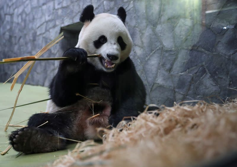 FILE PHOTO: A giant panda eats bamboo at a zoo in Moscow