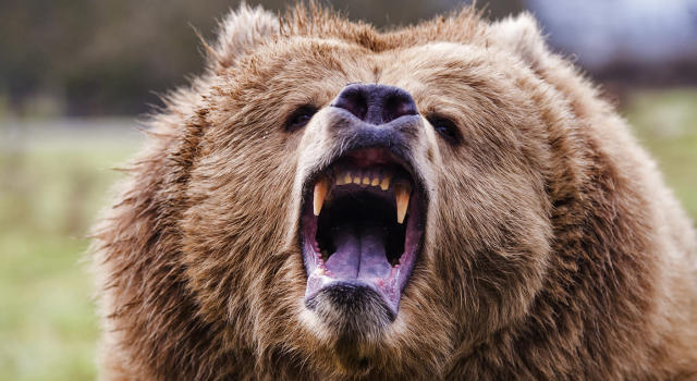 Grizzly bears are generally peaceful, but they can be vicious. (Prisma Bildagentur/UIG via Getty Images)
