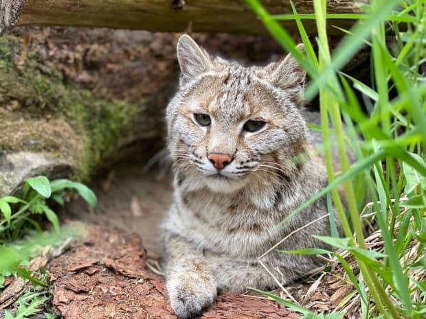 A bobcat named Brett Cody was found safe after he was missing for more than a week from the Saunders Country Critter Zoo and Sanctuary. (Saunders Country Critter Zoo and Sanctuary/Facebook - image credit)