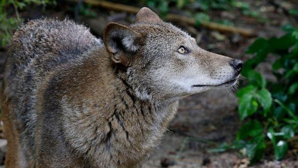 PHOTO: A red wolf roams its habitat at the Museum of Life and Science in Durham, N.C., on Monday, May 13, 2019. (Gerry Broome/AP, FILE)