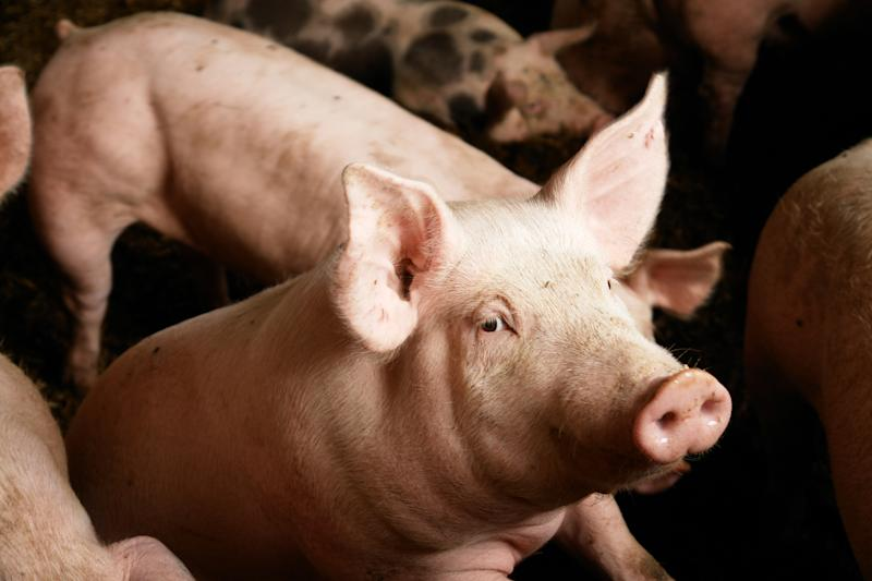 A close up of a sow with pigs in the background.